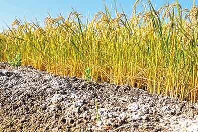 沙漠邊緣,海水稻測産